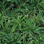 Chlorophytum modestum