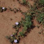 Crabbea angustifolia