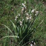 Gladiolus elliotii