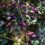 Myrsine africana