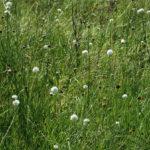 Cephalaria zeyheriana