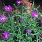 Delosperma purpureum