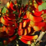 Erythrina akanthocarpa