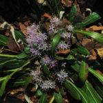 Platycarphella parvifolia