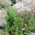 Leonotus ocymifolia