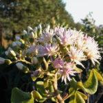 Vernonia colorata