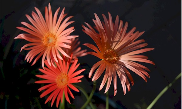 photo of Gerbera jamesonii in flower