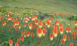 photo of Kniphofia porphyrantha in flower