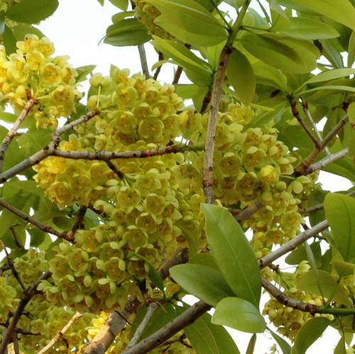 Ochna pulchra in flower