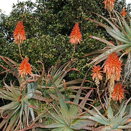 aloe arborescens wildflower indigenous plant database. Black Bedroom Furniture Sets. Home Design Ideas