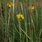 Bulbine angustifolia