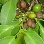 Afrocanthium inerme