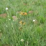 Gardening with Grassland Species Part 1: Grassland Gardens