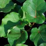 Ficus abutifolia