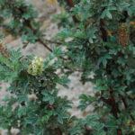 Leucosidea sericea