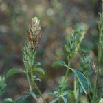 Barleria rotundifolia