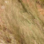 Pogonarthia squarrosa