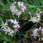 Nerine masoniorum